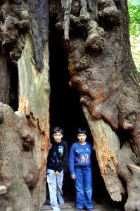 Asas and Murtaza stand inside a California Redwood